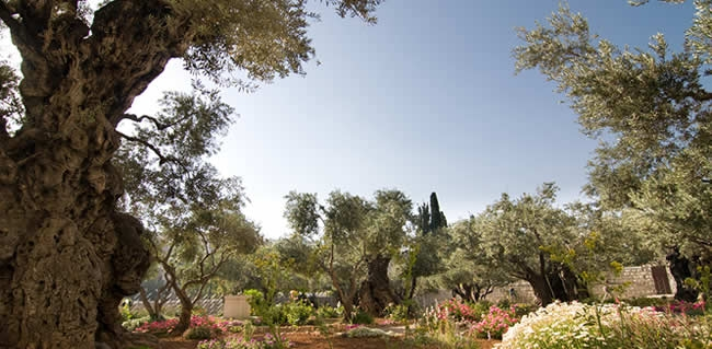in The Garden of Gethsemane during your Israel Christian tour